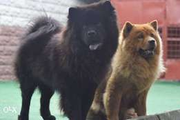 adult chow chow available for sale