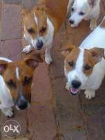 Jack Russells parents Canine registered with 8 weeks short leg pups