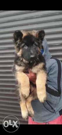 Imported female German shepherd.. Top quality and Giant size with Pedi