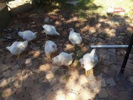 Low rate Broilers chickens for sale look and buy.