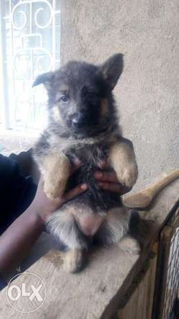 3 German Shepherd puppies on sale Biashara - image 2