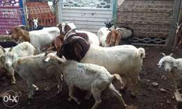 RSA live stock goats sheep and cow best price in town