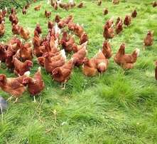Quality point of lay hens and cages for sale