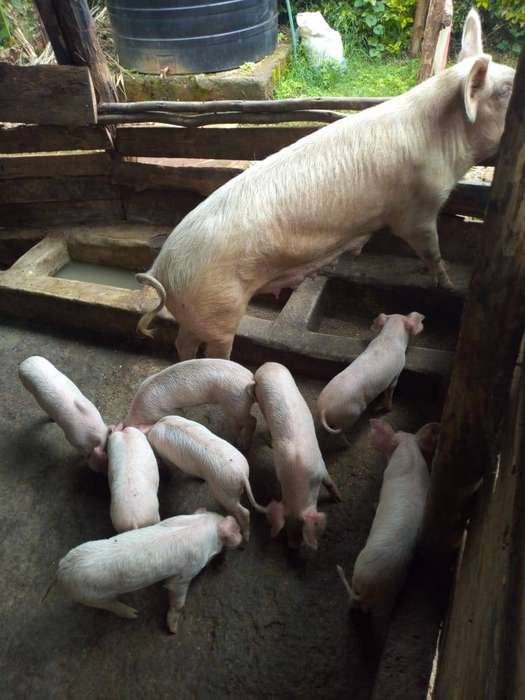 Livestock, Poultry & Fish for sale in Kenya | OLX