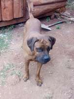 Pedigree boabel available
