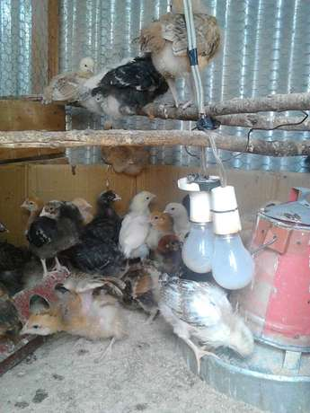 Kuroiler Chicks for Sale Ongata Rongai - image 5
