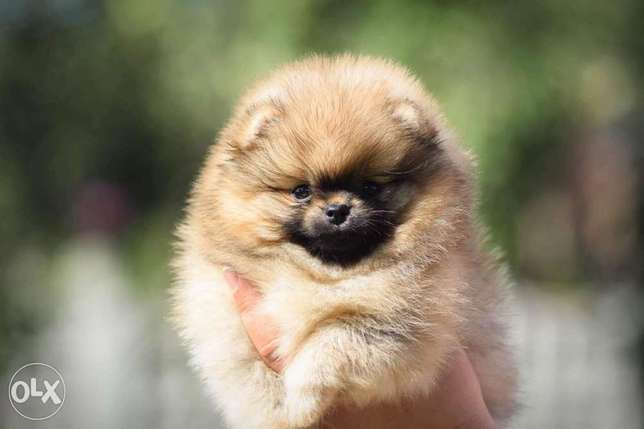 Teacup pomeranian puppies, imported with all dcs
