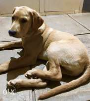 Beautiful Golden Male Labrador looking for a Home