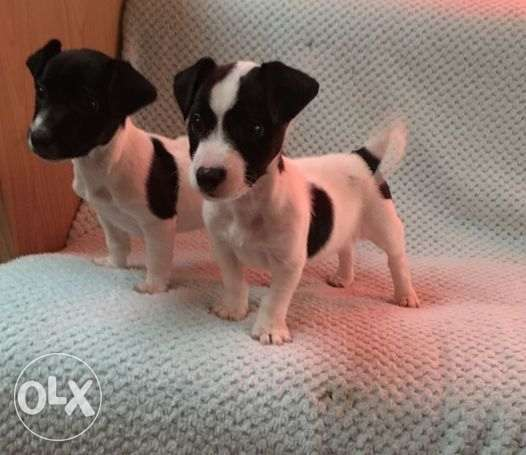 male and female Beautiful Jack Russell for adoption