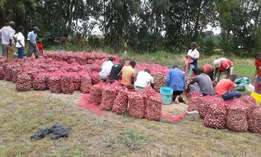 Red onions for sale (good quality Lambada and Matahari)