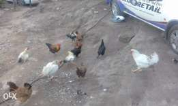 zulu chickens for sale hens n roosters