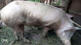 Mature and heathy large white pigs for sale