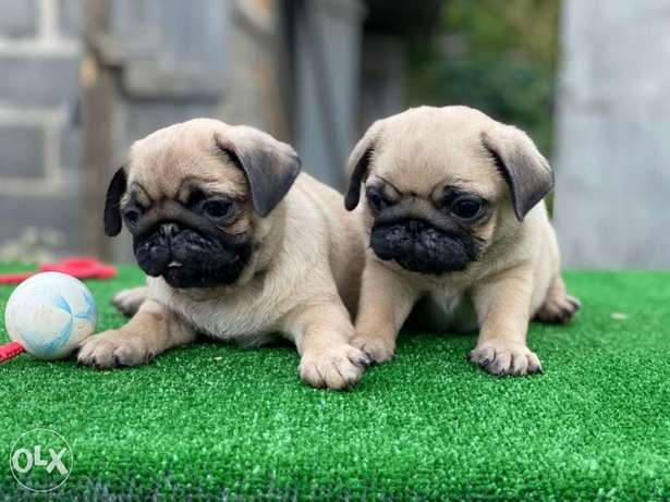 Now In Egypt Imported Pug Puppies
