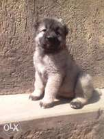 Female Caucasian puppy available