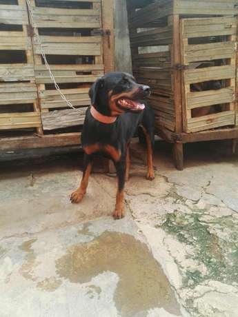 Female adults Rottweiler Ibadan Central - image 3