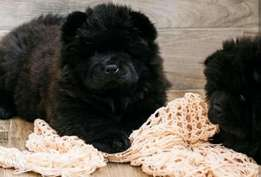 Imported top quality chowchow puppies with all documents