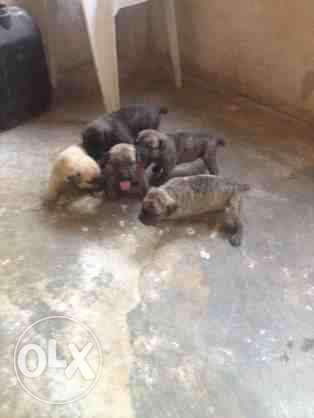 Amazing Boerboel puppies for sell Central Business District - image 4