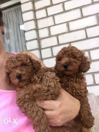 Now In Egypt imported Toy poodle male