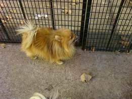 Toy Pomeranians Adult Dogs for sale