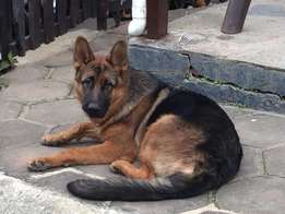 German Shepherd Pups For Sale at R 2000- each
