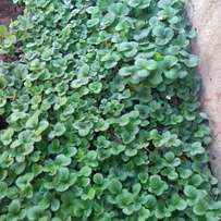 Straw Berry Seedlings For Sale