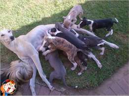 greyhound puppies for sale