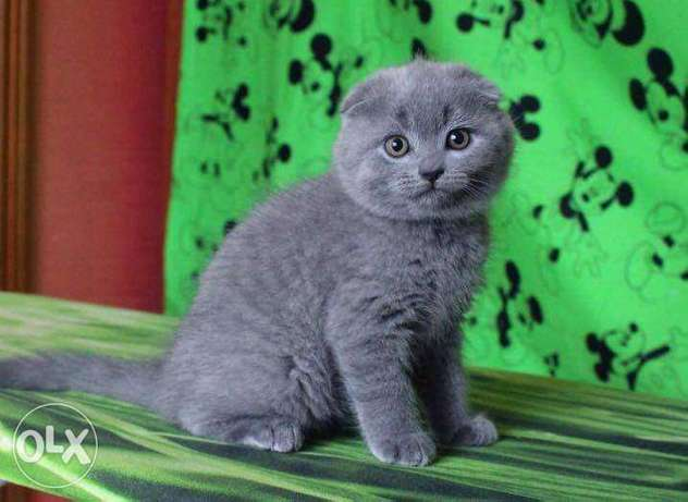 Scottish fold Top quality
