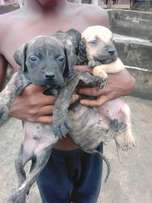 Male boerboel puppies for 6 weeks old