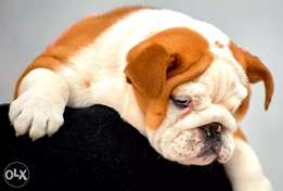 Best imported English Bulldog puppies with Pedigree..males and females
