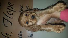 Black or golden spaniel pups