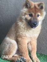 Distress sale of 5 months female chow chow puppy
