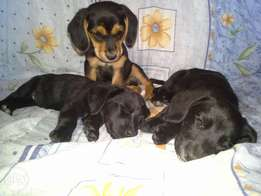 Not pure bred labrador puppies for sale.