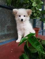 Maltese and Japanese Spitz puppies