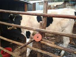 an amazing lovely dairy cow