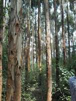 5 acres in mukurweini-ngamwa with blue gum, land and tree at 8M