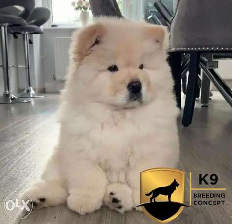 imported chow chow puppies