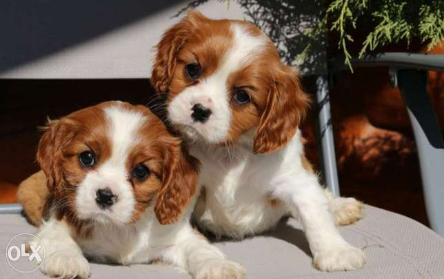 Cavalier king Charles supper quality best breed for kids and family