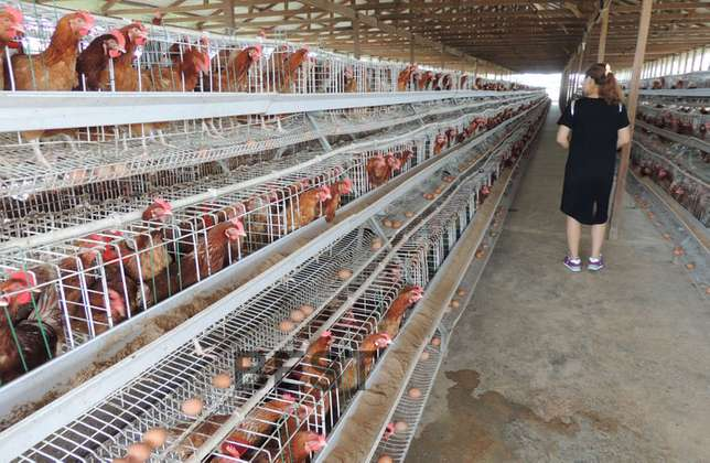 Best Price for Quality Imported Chicken Cages for Layers Kasarani - image 2
