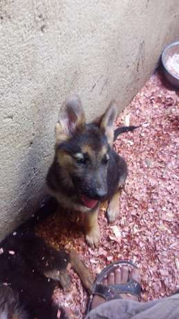 4 months old gsd puppies Ruai - image 2