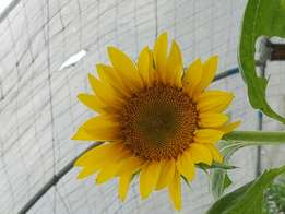 Sunflower seedlings for sale