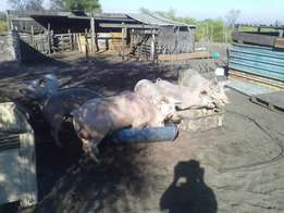 5 sows 1 boar pigs sows pregnant