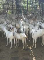 Galla goats for sale.
