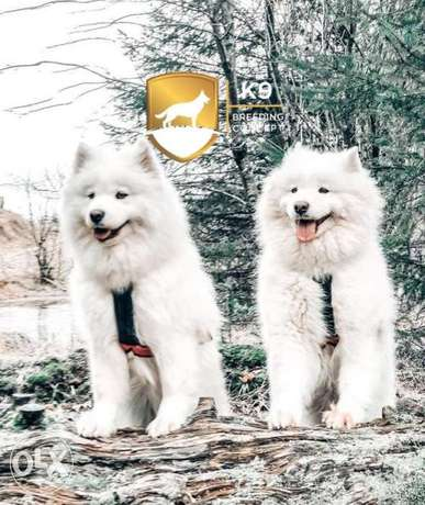 Imported Samoyed