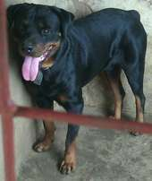 Mature Male Rottweiler