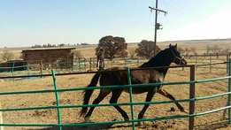 Registered SA boerperd for sale