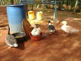 offer on geese...buy a pair at 10000 and get one male free