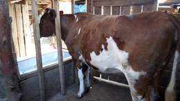 Pedigree heifers for sale