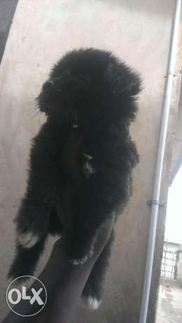 Black Lhasa available for Säle Lagos Mainland - image 3