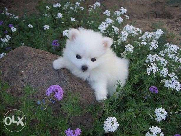 Loulou Spitz puppy