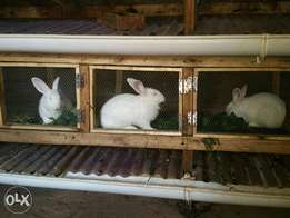 New Zealand white and carlifornia rabbits on sale.